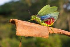 Grüne Milkwood-Heuschrecke oder Afrikaner-Bush-Heuschrecke Lizenzfreie Stockbilder