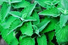 Grüne Minze Lizenzfreies Stockbild