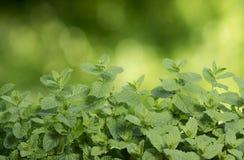 Grüne Minze Lizenzfreies Stockfoto