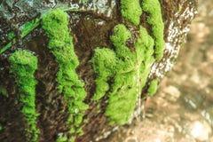 Grüne Moosanlage Lizenzfreie Stockfotografie