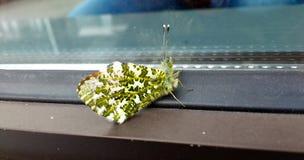 Grüne Motte vor einem Fenster Lizenzfreie Stockfotografie