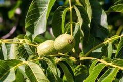 Grüne Nüsse auf dem Baum Stockbilder