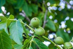 Grüne Nüsse auf dem Baum Lizenzfreies Stockfoto