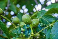 Grüne Nüsse auf dem Baum Stockbild