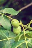 Grüne Nüsse auf dem Baum Lizenzfreie Stockbilder