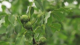 Grüne Nüsse auf der Niederlassung mit Wasser fällt in den Garten Bäume im Regen, Abschluss oben, dynamische Szene, getontes Video stock video footage