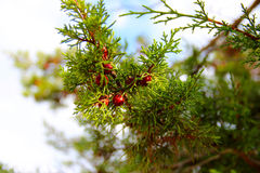 Grüne Nadelbäume Stockfoto