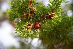 Grüne Nadelbäume Lizenzfreie Stockbilder