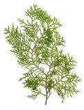 Grüne Nadelbaumblätter Lizenzfreies Stockfoto