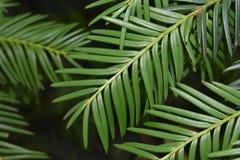 Grüne Nadeln stockbild
