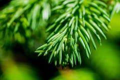 Grüne Nadeln eines gezierten Baums Stockbilder