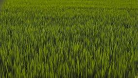 Grüne Naturlandschaft mit Feld des ungeschälten Reises stockfotografie