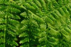 Grüne neue Blattfarntropfen des Sonnenlichts des Taus morgens Stockbilder