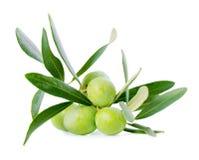 Grüne Niederlassung des Olivenbaums mit Beeren wird auf weißem BAC lokalisiert Stockfotos