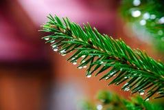 Grüne Niederlassung des Weihnachtsbaums lizenzfreie stockfotografie