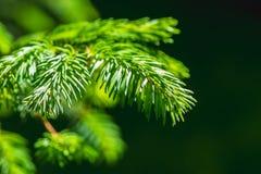 Grüne Niederlassung und Nadeln eines gezierten Baums Lizenzfreie Stockbilder