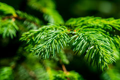 Grüne Niederlassung und Nadeln eines gezierten Baums Stockfoto
