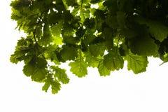 Grüne Niederlassungen der Eiche mit den Regentropfen Stockfotos