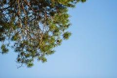 Grüne Niederlassungen des Koniferenbaums und des blauen Himmels Stockbild