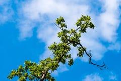 Grüne Niederlassungen gegen blauen Himmel mit Wolken Stockfotografie