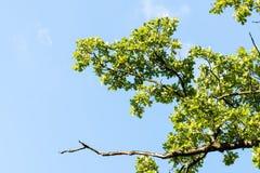 Grüne Niederlassungen gegen blauen Himmel mit Wolken Stockbild