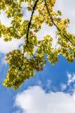 Grüne Niederlassungen gegen den Himmel an einem sonnigen Tag Lizenzfreies Stockbild