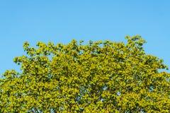 Grüne Niederlassungen gegen den Himmel an einem sonnigen Tag Lizenzfreie Stockfotos