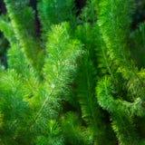 Grüne Niederlassungen umfasst in den kurzen flaumigen Haaren Lizenzfreies Stockfoto