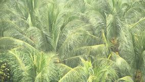 Grüne Niederlassungen von KokosnussPalmen swaing im Wind im tropischen Regen stock footage