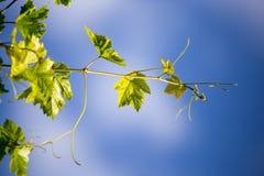 Grüne Niederlassungen von Trauben gegen den blauen Himmel Stockbilder