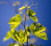 Grüne Niederlassungen von Trauben gegen den blauen Himmel Lizenzfreie Stockbilder