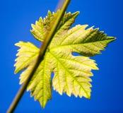 Grüne Niederlassungen von Trauben gegen den blauen Himmel Stockfotos