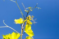Grüne Niederlassungen von Trauben gegen den blauen Himmel Stockfoto