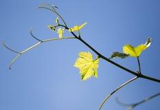 Grüne Niederlassungen von Trauben gegen den blauen Himmel Lizenzfreies Stockfoto