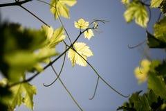 Grüne Niederlassungen von Trauben gegen den blauen Himmel Lizenzfreie Stockfotos