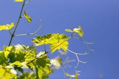 Grüne Niederlassungen von Trauben gegen den blauen Himmel Lizenzfreie Stockfotografie
