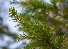 Grüne Niederlassungen Weihnachtsbaum blauen Himmels und des bokeh Stockfoto