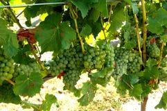 Grüne oder weiße Trauben auf der Rebe Stockfotos