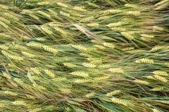 Grüne Ohren des Kornes Stockbilder