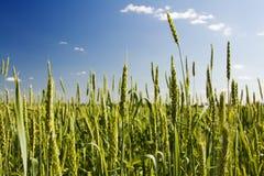 Grüne Ohren des Weizens Stockbild