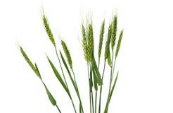 Grüne Ohren des Weizens Stockfotografie