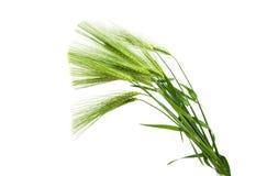 Grüne Ohren des Weizens Lizenzfreie Stockfotografie