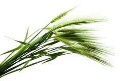 Grüne Ohren des Weizens Lizenzfreies Stockbild