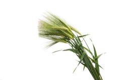 Grüne Ohren des Weizens Stockbilder