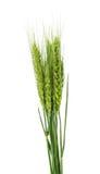 Grüne Ohren des Weizens lokalisiert Stockfotografie