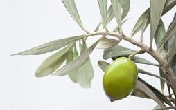 Grüne Olive auf Zweig stockfotos