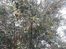Grüne Oliven Stockfoto