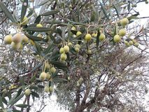 Grüne Oliven Lizenzfreies Stockfoto