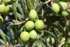 Grüne Oliven auf Baum lizenzfreies stockbild