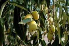 Grüne Oliven auf dem Baum Lizenzfreies Stockfoto